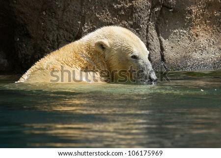 Close-up of a polarbear (icebear) in capticity (Holland) - stock photo