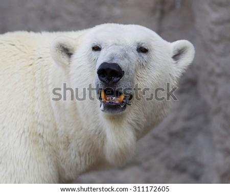 Close-up of a polarbear (icebear) in captivity  - stock photo