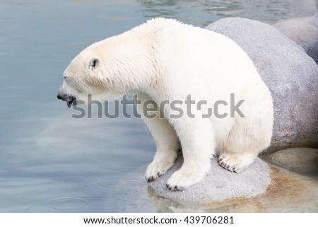 Close-up of a polarbear (icebear) in captivity