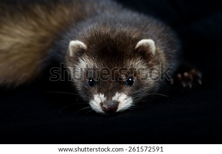Close up of a polecat/ferret's face