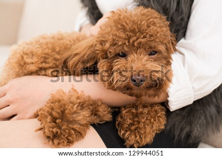 Close-up of a poodle snout napping - stock photo