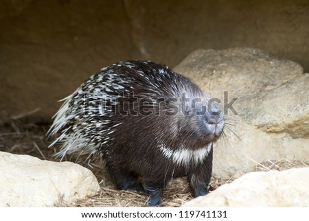 Close up of a Porcupine