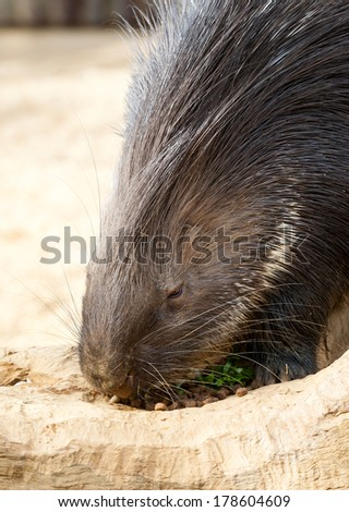 Close up of a Porcupine Eating - stock photo