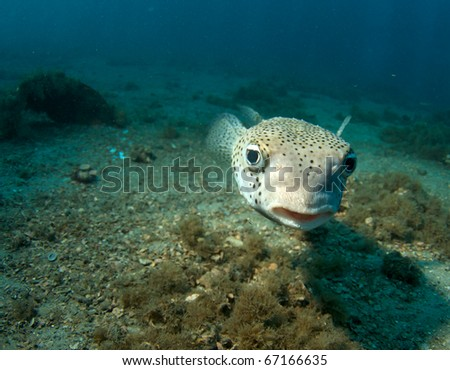 Close up of a Porcupinefish-Diodon hystrix, picture taken under the Blue Heron Bridge in the intercoastal waterway of Palm Beach County, Florida. - stock photo