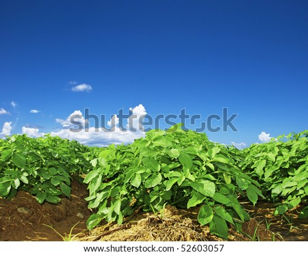 Close up of a potato field - stock photo