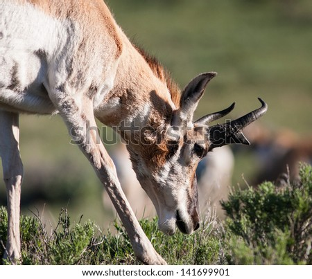 Close up of a pronghorn in Yellowstone. - stock photo
