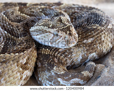Close-up of a puff adder (Bitis arietans) snake ready to strike