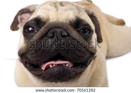Close up of a pug isolated on white background