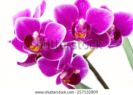 Close up of a purple flower phalaenopsis on white background