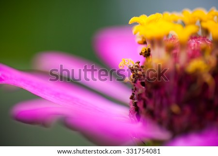 Close up of a purple Zinnia flower with selective focus on its pollen .
