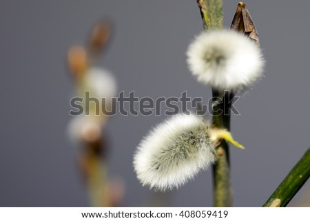 close up of a pussy willow / pussy willow - stock photo