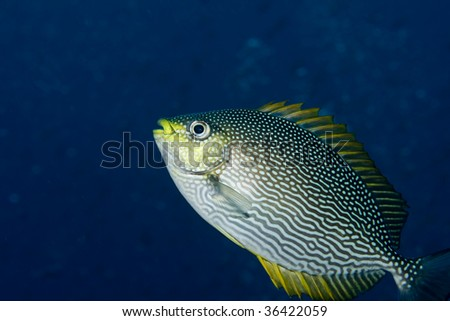 Close-up of a rabbitfish in the Gulf of Thailand, off Koh Tao - stock photo