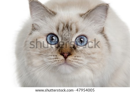 close up of a Ragdoll (10 months old) in front of a white background
