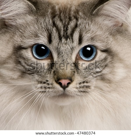 close up of a Ragdoll (2 years old) - stock photo