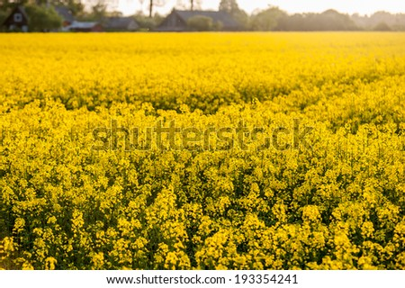 Close up of a rapeseed field. Selective focusing shot of a blooming rapeseed field at spring. - stock photo
