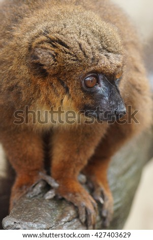 Close-up of a Red-bellied Lemur - Eulemur rubriventer