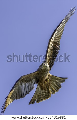 Close up of a red kite (Milvus milvus) in flight manoeuvring in the air. With prey on the wing. Flying against a plain blue sky background providing copy space.