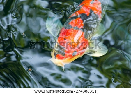 Close up of a red koi carp head while swimming - stock photo
