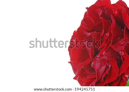 Close up of a red rose with rain drops on the petals. With copy space