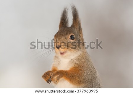 close up of a red squirrel
