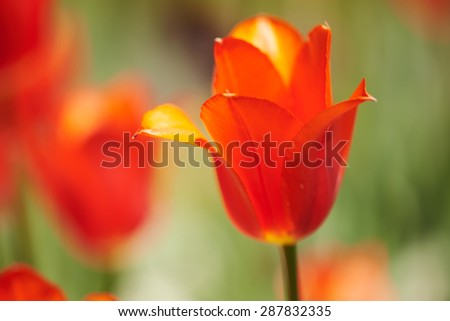Close-Up of a Red Tulip - stock photo