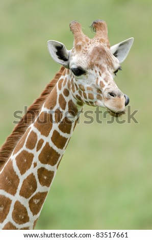 Close-up of a reticulated giraffe - stock photo