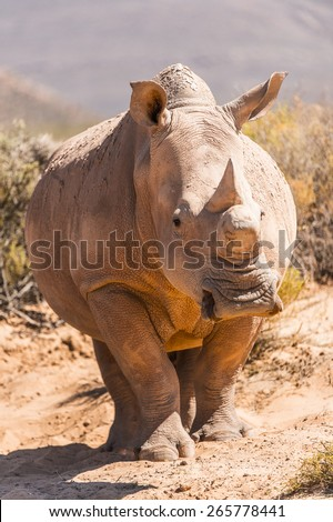Close up of a rhinocero in South Africa - stock photo