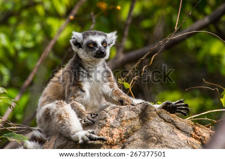 Close up of a ring-tailed lemur in Madagascar, Africa - stock photo