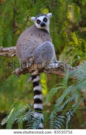 close-up of a ring-tailed lemur in natural habitat - stock photo