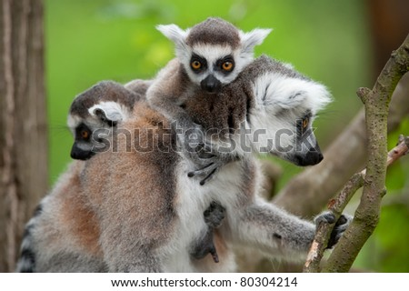 close-up of a ring-tailed lemur with her cute babies (Lemur catta) - stock photo