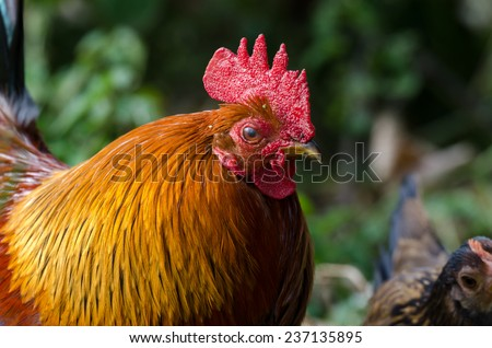 close up of a rooster in a hen house - stock photo