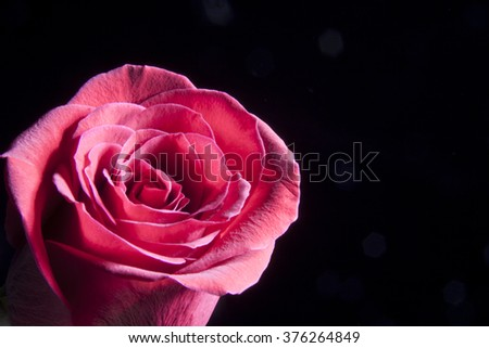 Close-up of a rose - stock photo