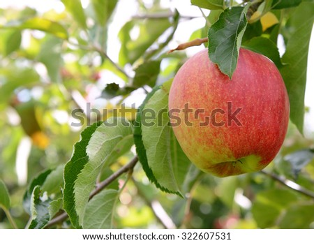 Close-up of a rosy red apple ready to pick from the branch for harvest
