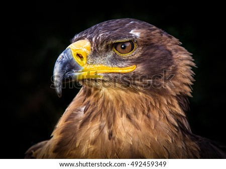 Close up of a Russian Steppe Eagle's head.