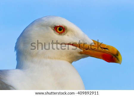 Close up of a seagull in profile taken in natural evening sunlight