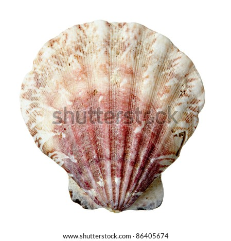 close up of  a seashell on  white background with clipping path - stock photo