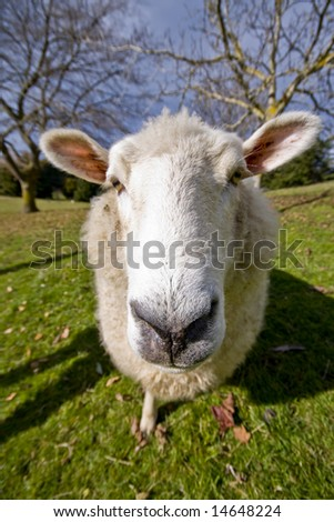 Close up of a sheep - stock photo