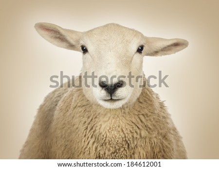 Close-up of a Sheep's head in front of a cream background - stock photo