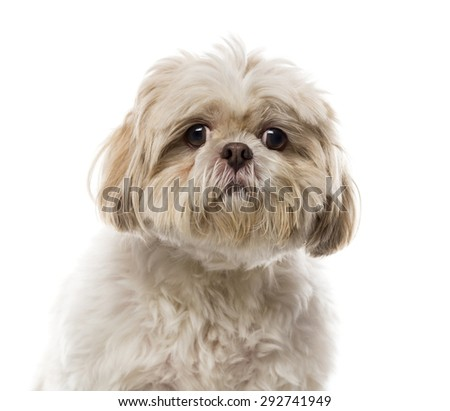 Close-up of a Shih Tzu in front of a white background - stock photo