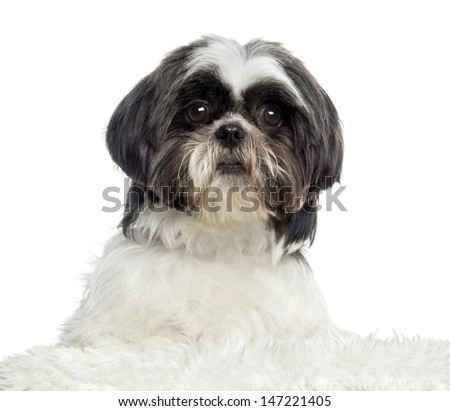 Close up of a Shih Tzu, isolated on white - stock photo