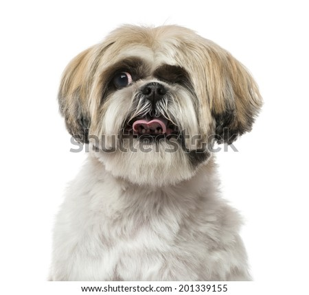 Close-up of a Shih Tzu (6 years old)