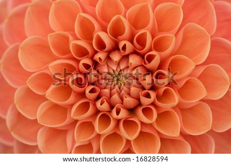 Close-up of a single dahlia bloom - stock photo