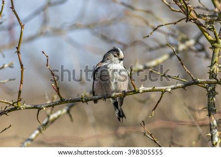 Close up of a single Long Tailed Tit (Aegithalos caudatus) perching in a wild rose bush in winter - stock photo