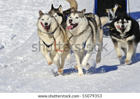 Close up of a sled dog team in full action, heading towards the camera. Space for text in the snow to the bottom left of image. - stock photo
