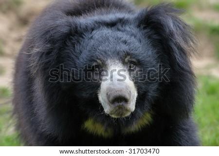 close-up of a sloth bear looking at the camera (Melursus ursinus) - stock photo