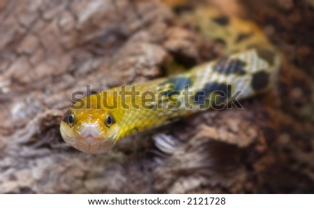 close-up of a snake ready to strike - stock photo