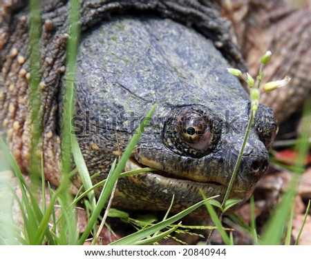 close up of a snapping turtle in the wild - stock photo