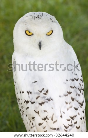Close up of a Snowy Owl (Bubo scandiacus) - stock photo