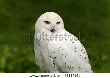 Close up of a Snowy Owl (Bubo scandiacus)