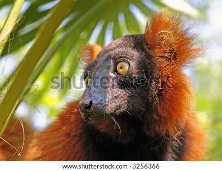 "Close-up of a so called ""red ruffed lemur"". - stock photo"